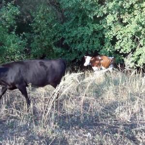 На этой территории живут коровы и пара яков.